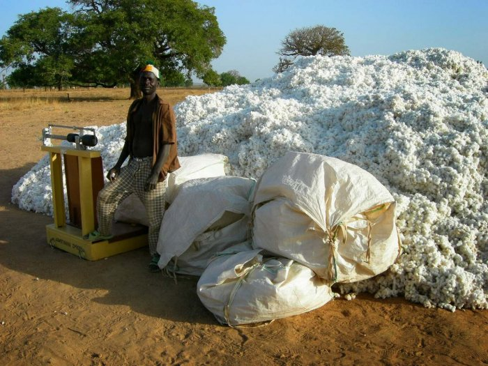 Буркина-Фасо: 2008 год, урожай хлопка в Доуртенга, за год до введения ГМ Bt-хлопка