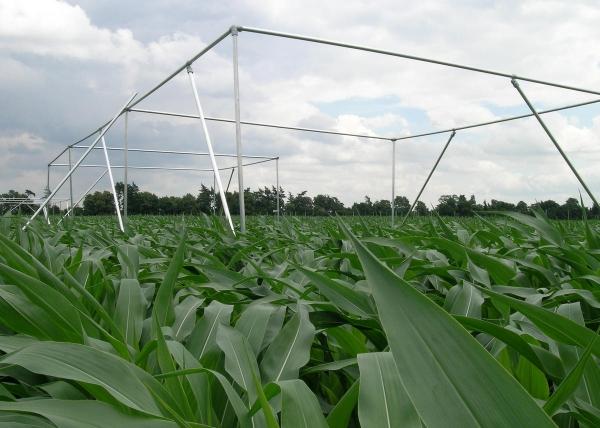 Палатка для двух пчелиных семей, созданная на каждом участке кукурузы. Генетически модифицированная Bt-кукуруза и три обычных сорта кукурузы были посажены отдельно в общей сложности на 32 участках.