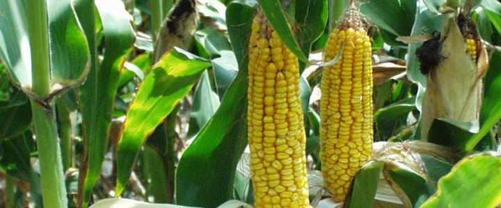 5-corn-gmo-yield