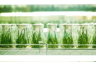 Фото. Размножение ГМО