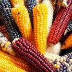Фото. Цветная кукуруза
