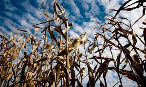 Фото. Syngenta, кукуруза и ГМО