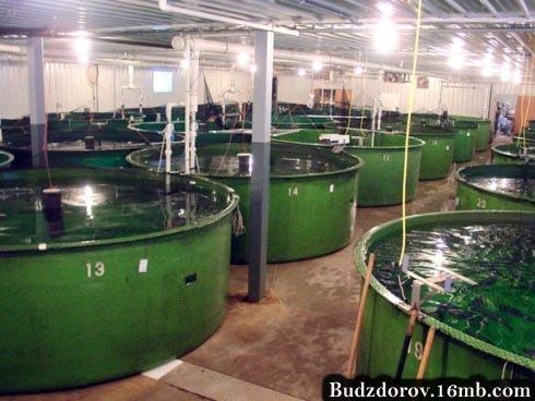 Фото. Производство ГМО рыбы (AquaBounty)