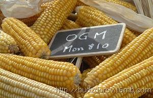 Фото. ГМО-кукуруза (MON810)