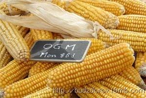 Фото. Кукуруза ГМО (MON863)