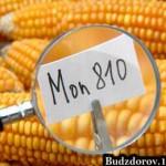 кукуруза ГМО (MON863, MON810)