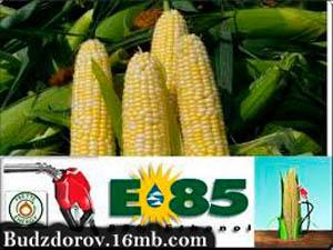 Фото. Кукуруза в качестве топлива