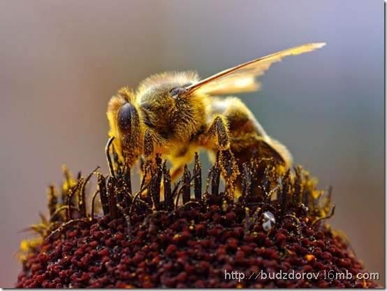 Фото. Пчелы и ГМО