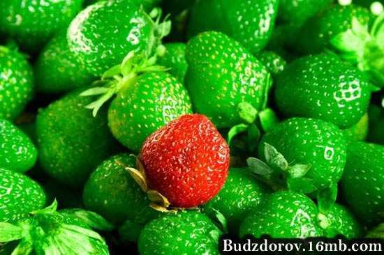 Фото. Тут пахнет клубникой или ГМО?