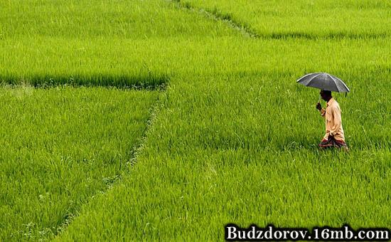 Индийский фермер на рисовом поле (ГМО)