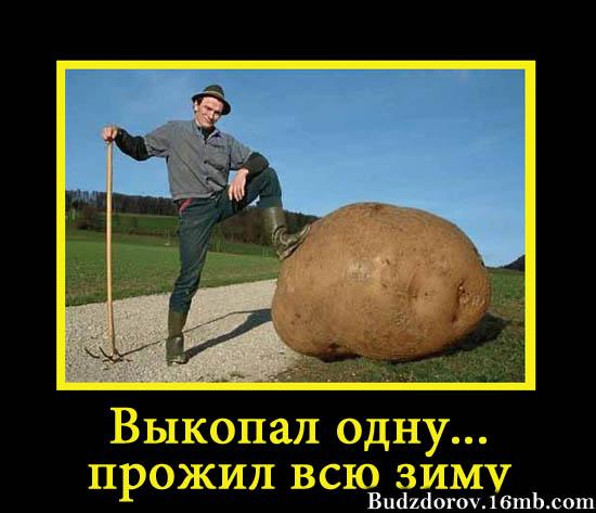 Картофель с ГМО