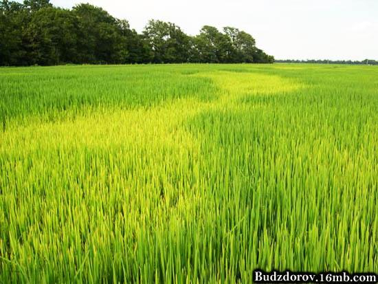 Рисовое поле в Арканзасе (США)