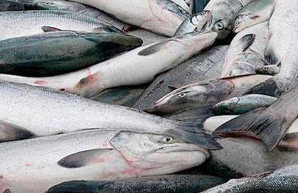 Фото. ГМО лосось