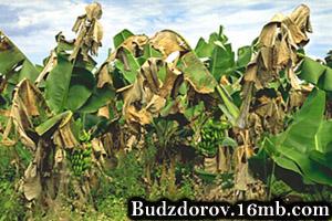 Плантация бананов зараженных Black Sigatoka