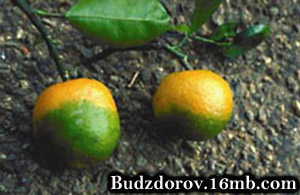 Позеленение апельсина