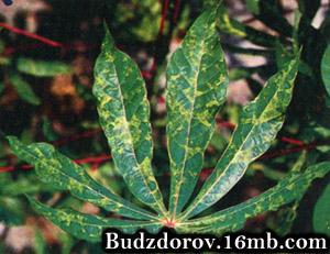 Маниока, пострадавшая от вируса мозаики