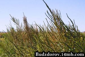 щирица Палмера (Palmer amaranth)