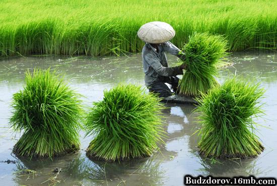 Китайский фермер собирает рис (ГМО)