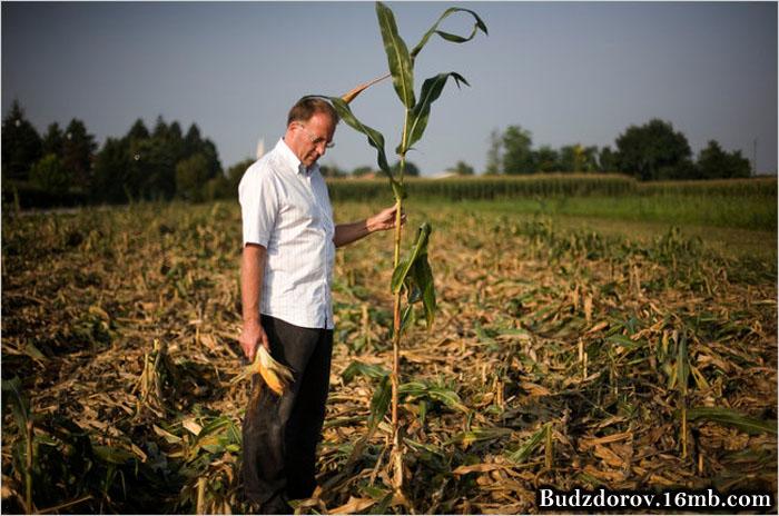 Итальянский фермер подзаработал на ГМО - MON810
