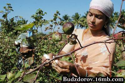 Сбор ГМО хлопка в Индии