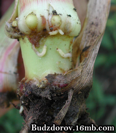 Личинки жука на корнях обычной кукурузы (не ГМО)