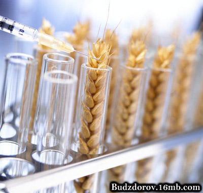 Пшеница из пробирки - ГМО