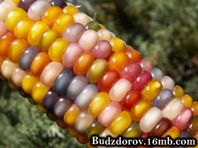"""Кукуруза """"Glass Gem"""" не содержит ГМО"""