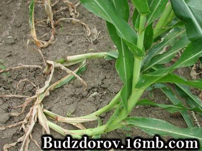 Если корни повреждены личинками, кукуруза становятся неустойчивой и может упасть