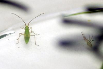 Клопы сбрасывают несколько раз свою хитиновую оболочку прежде чем они полностью вырастут (старая оболочка справа)