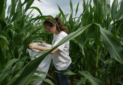 Во время полевых испытаний насекомых, живущих в растениях, ловят большими сетками