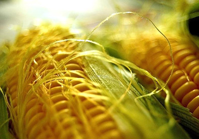 DroughtGard - кукуруза ГМО от Монсанто