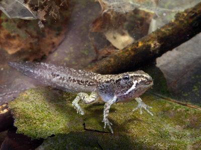 Головастик лесной лягушки (Rana silvatica) и ГМО