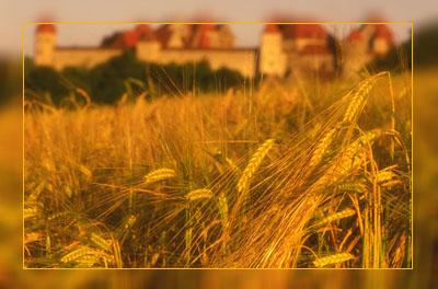 Фото. Объект для европейских исследований - ГМО