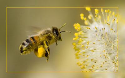 Фото. Медоносная пчела - тихая мишень для ГМО