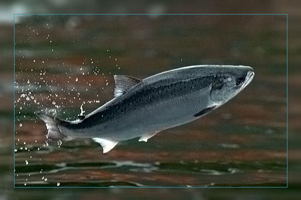 Фото. Рыба в полете