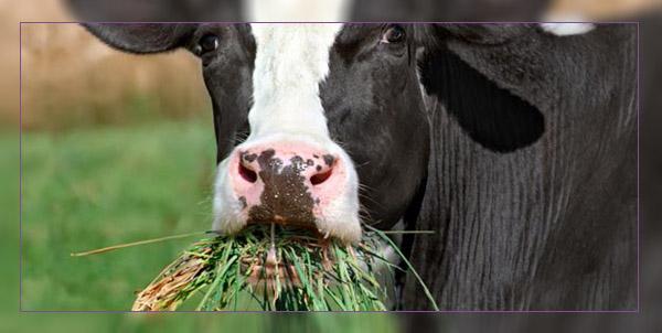 Фото. Коровы и ГМО трава