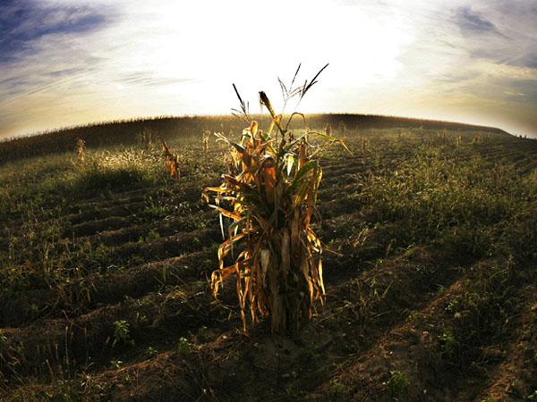 Фото. Борьба с ГМО кукурузой уже началась