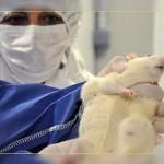 Фото. Одна из мышей пострадавших от ГМО