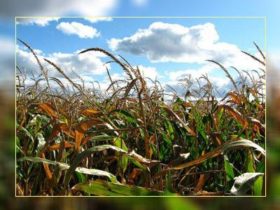 Фото. Что тут ГМО и не-ГМО кукуруза?