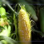 Фото. Объект новых запретов в России - ГМО кукуруза