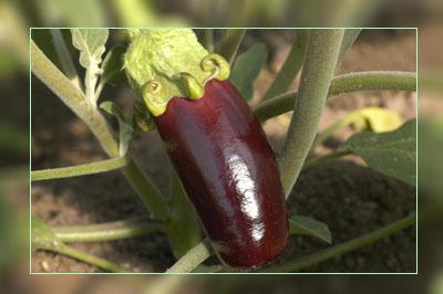 Фото. Камень преткновения в Индии - ГМО баклажан