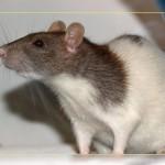 Фото. Подопытная крыса Sprague Dawley для исследования ГМО