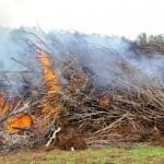 Сжигание ГМО деревьев в Италии