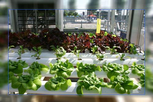 Фото. Выращивание с помощью гидропоники