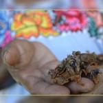 Фото. Пчелы могут сослужить плохую службу с ГМО в Мексике
