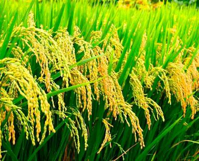Фото. Китайский Золотой рис