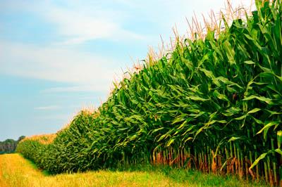 Фото. Кукурузные поля