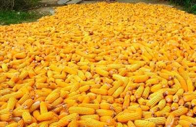 Фото. Кукуруза компании Dow