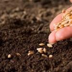 Фото. Садим не-ГМО семена