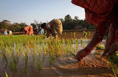 Фото. Сбор риса в Индии